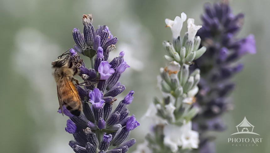 A honey bee on lavender.