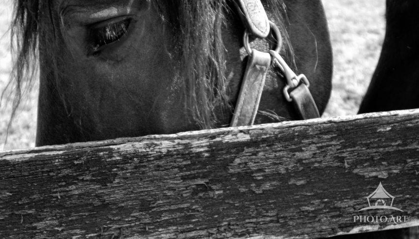 Image of a horse eating grass behind an old wooden fence.