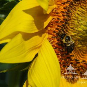 A macro shot of a bee pollinating a young sunflower.
