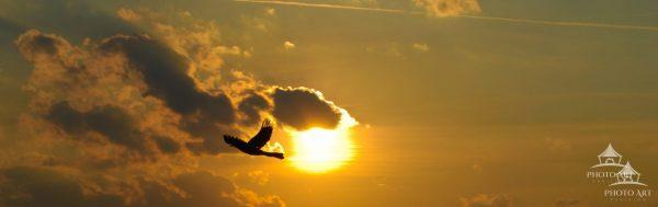 Sun is starting to set, while a bird glides past the sun. The bird captured in this image is a