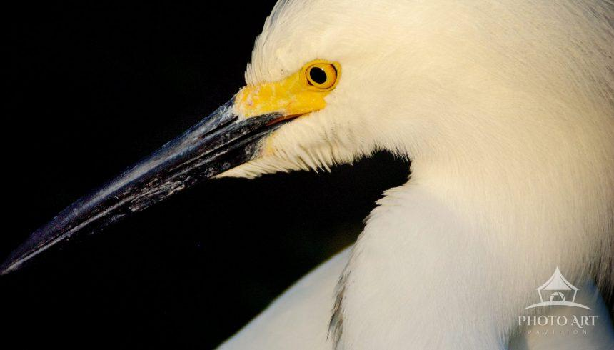 Crisp image of an elegant Great Egret (Ardea alba) profile. This bird is slightly highlighted by a