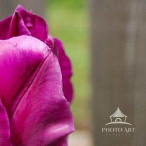 Vivid pink tulip with a soft unfocused background.
