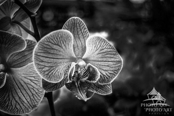 Black and white photo of a white and purple petal orchid.