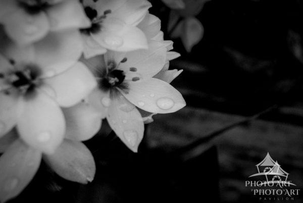 Black and white photo of small white petaled flowers with a bit of water.