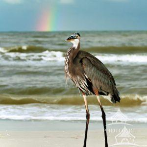 "Great Blue ""Rainbow"" Heron"