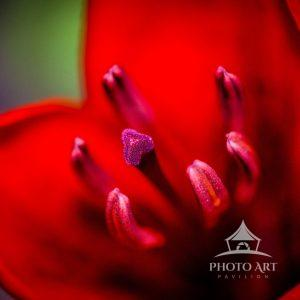 This Lilly is a stunning red color with a very interesting purple color center. Macro image of this