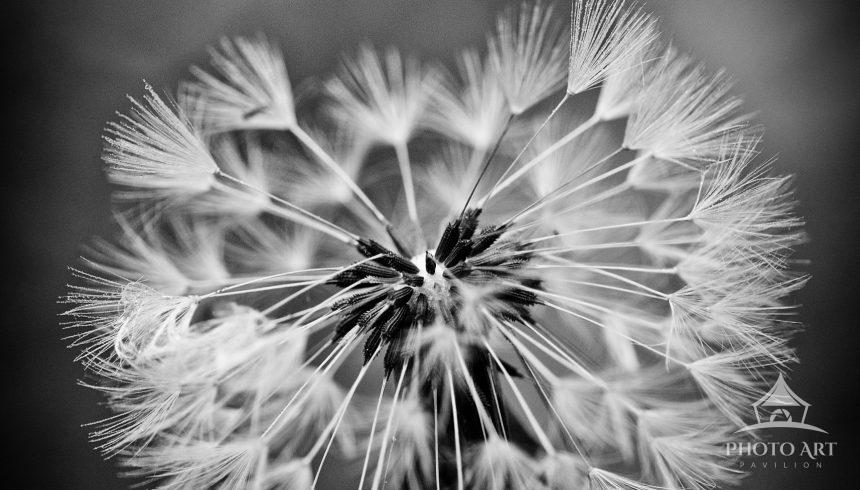 Dramatic black and white of a dandelion. The macro image shows the details of the flower.