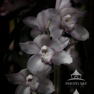 Orchid - 462