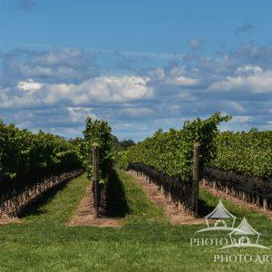 Wine Country - East End Long Island - Beautiful day at the vineyards. View of the grape vines.