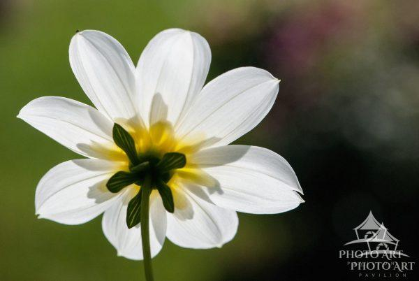 The backside of a white and yellow flower facing the sunlight.