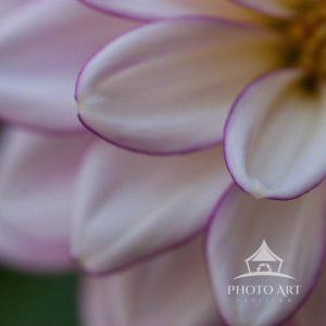 Garden petal up close, which has a purple trim line around the petal.