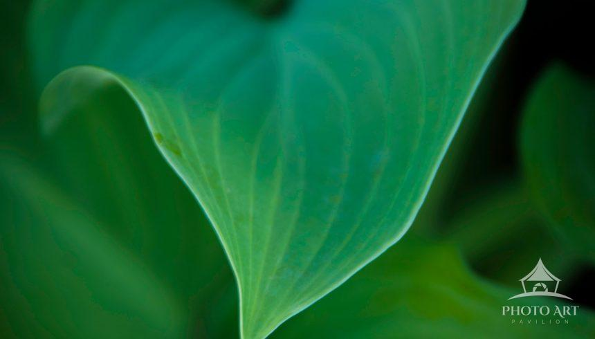 View of a hosta leaf with low lighting. It also appears that the leaf has glowing