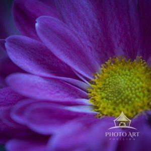 Bold purple daisy up close with a yellow center.