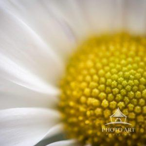 Beautiful white daisy with an up-close view of the yellow center.