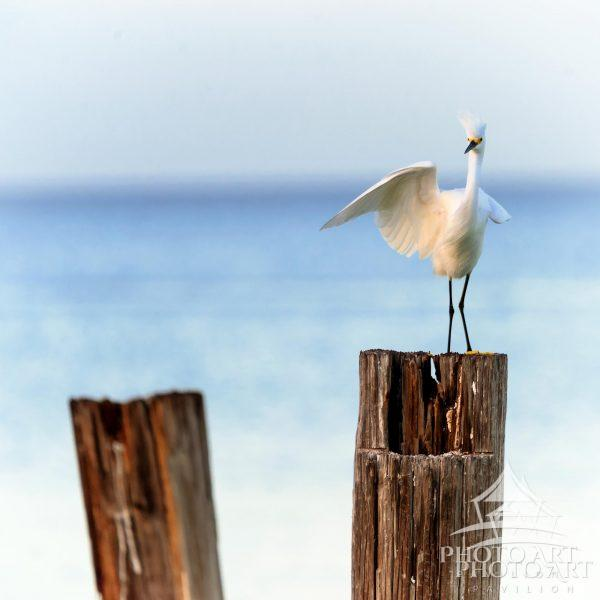 Snowy Egret on Post
