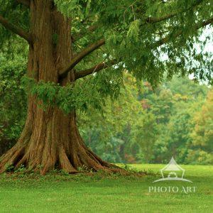 This giant evergreen consumes the landscape. Its mighty trunk grabs the earth with authority,
