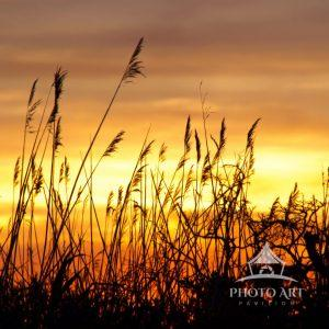 The sun sets over familiar Fire Island cattails on the dunes at Watch Hill, Long Island.