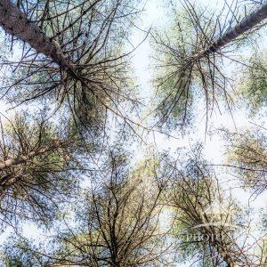 The tree tops of the pine trees in Long Island's Prosser Pines Nature Preserve are more interesting