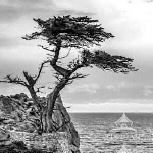The Lone Cypress is a Monterey cypress tree in Pebble Beach, California. Standing on a granite