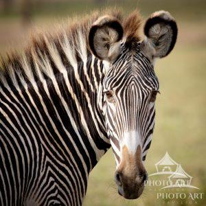 In the wild, a Zebra pauses and looks at us curiously.