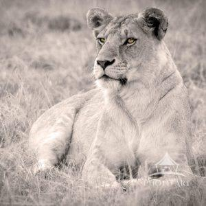 Portrait of a lioness in Kenya.