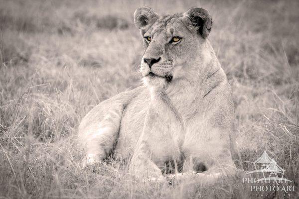 Portrait of a lioness in Kenya.