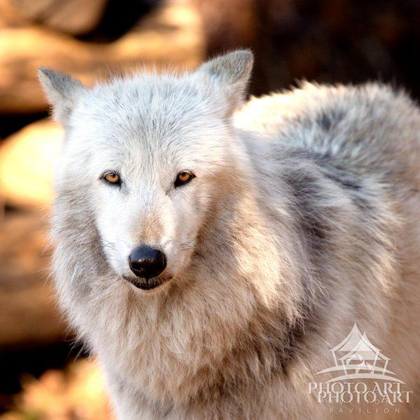 A grey & brown wolf names Alawa, she serves as an ambassador wolf so to educate others on the beauty