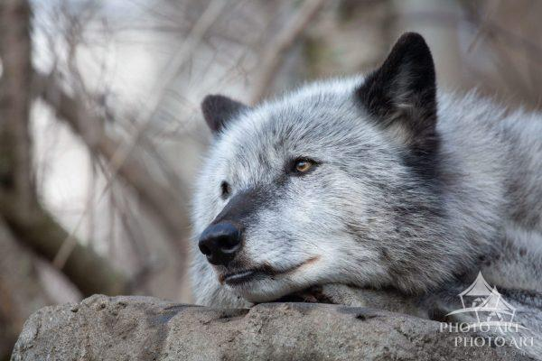 January, 2020 Zephyr is male wolf who was born in 2011 and raised at the Wolf Conservation Center as