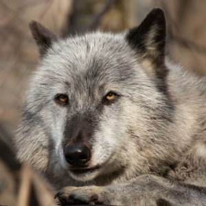Zephyr is male wolf who was born in 2011 and raised at the Wolf Conservation Center as an Ambassador