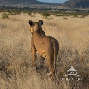 A lioness takes a moment to survey the landscape after walking for a very long time.