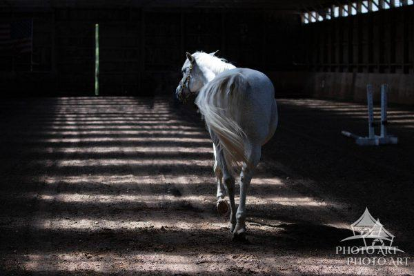 After morning exercise, a walk in the barn.  Opie pauses for a moment, then carries on.