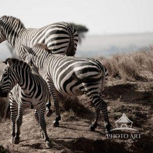 Zebras In Flight- they are either running away from or running towards something.