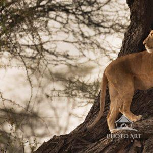 A lioness in the wild seeks a rare repose from the heat in a tree.