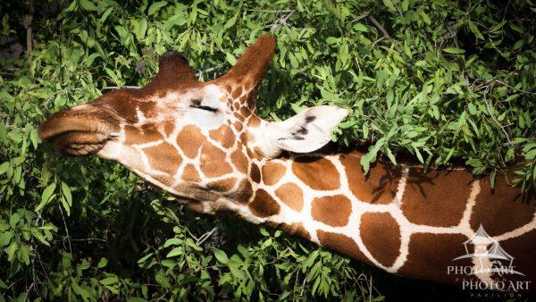 A rare reticulted giraffe from northern Kenya, living in the wild.  Only one of 8500.