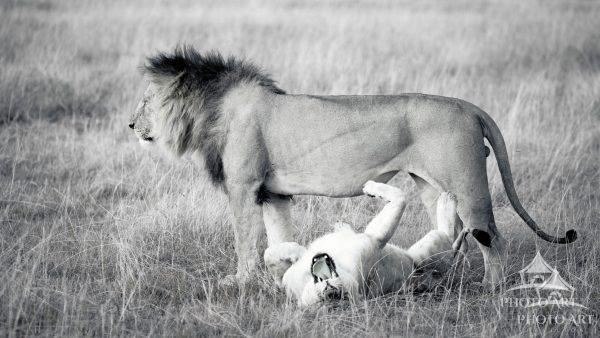 The complexities of lion relationships in in their natural habitat.