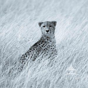 """The cheetah's name is Amani (Swahili for """"peace"""") On a breezy Mara morning she gazes intently"""