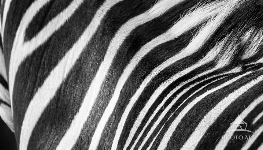 Hypnotic strips of the Zebra