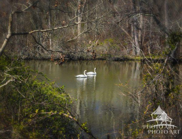 A pair of swans in a tranquil moment on the Carmans River