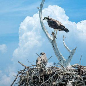 An Osprey in its nest, about to fledge.