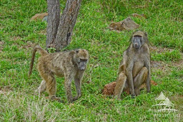 While on safari in Kruger National Park, we spotted these playful baboons.