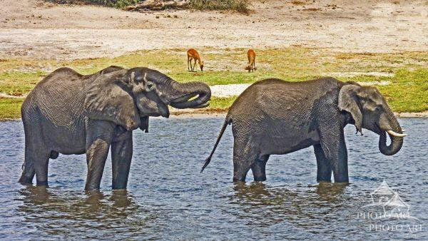 Elephants photographed in Chobe National Park.