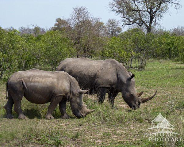 These Rhinos eating grass couldn't care less that we were watching.