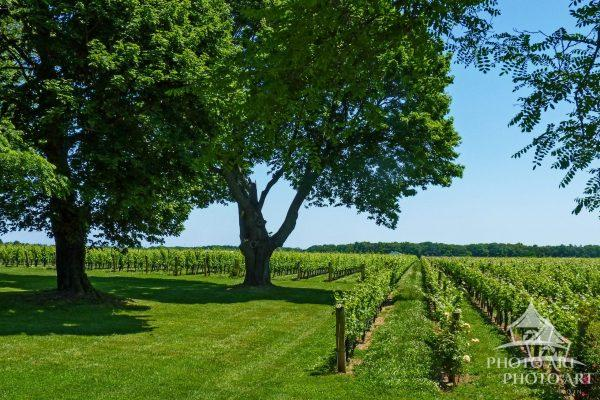 There is lots of green in these acres of vines.