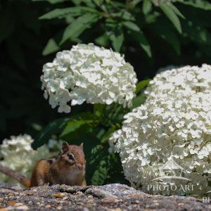 A chipmunk stopped to pose in front of the white hydrangeas on a summer day.