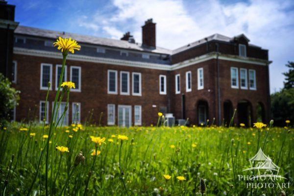 Field of dandelions and old building in Nassau County, NY