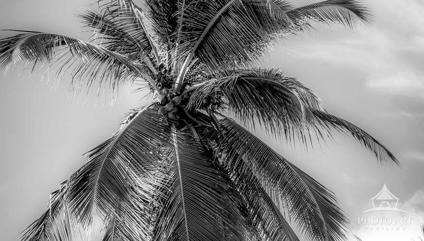 A coconut tree sways in the tropical breeze on the beautiful Grand Anse Beach in Grenada. This