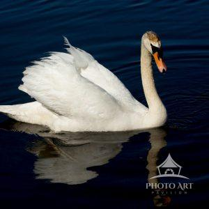 Mid morning, this swan was alone and happily gliding through the pond.