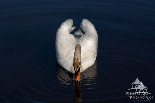 A swan's morning routine.
