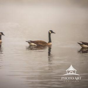Three Canadian Geese gliding across the Upper Cascade Lake in Brightwaters. It was a warm foggy
