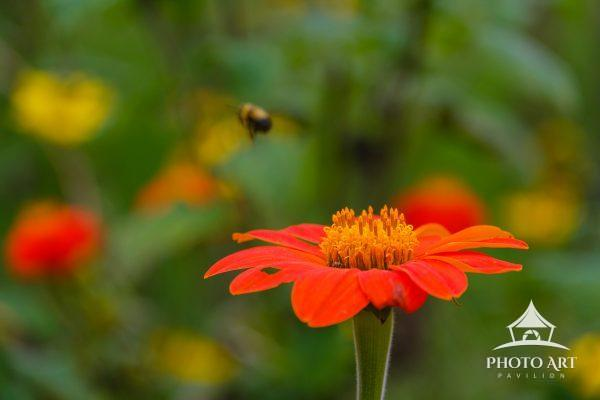 Bright and vivid flower with a bee that just finished it's collection of leftover pollen. A fall